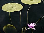 Lotus leaves with Lotus flower on dark pond.