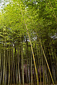 Asia, Bamboo, Color, Colour, Exterior, Foliage, Forest, Forests, Green, Low angle view, Nature, Outdoor, Outdoors, Outside, Plant, Plants, Scenic, Scenics, Tree, Trees, Trunk, Trunks, Vegetation, View from below, Woods, Worms eye view, N25-595756, agefoto