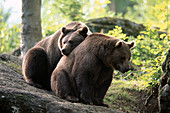 Brown near (Ursus arctos). Two adult bears sitting on a rock, friendship. Summer. National Park Bavarian Forest. Germany.