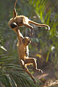 Weeping Capuchin (Cebus olivaceus), two cubs playing hanging on branch. Cerrado tropical savanna ecoregion, Piauí, Brazil
