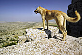 A dog surveys the panoramic views towards the Efrine River valley, Qala At Samann. Halab, Syria
