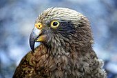 A Kea Alpine Parrot (Nestor notabalis) at the entrance to Homers Tunnel on the road to Milford Sound, Otago & Southland, South Island, New Zealand