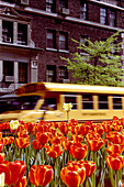 School bus passing by tulip bed, Park Avenue. NYC, USA