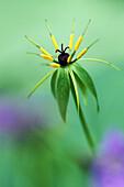 The unusual flower of Paris quadrifolia.