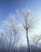Hoar Frost on Trees, Edmonton, Alberta, Canada