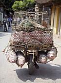 Transporting pigs. Hanoi. Vietnam.