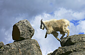A Rocky Mountain goat (Oreamnos americanus) leaps from one rock to another near summit of Mt. Evans near Idaho Springs, Colorado, USA