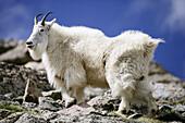 A mountain goat poses atop a rock outcrop on Mt. Evans, Colorado, USA.
