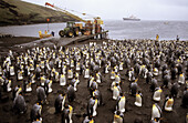 King penguin colony on the wharf of Possession Island (Aptenodytes patagonica), Crozet islands, sub-antarctic