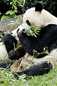 Giant panda pair eating bambo (Ailuropoda melanoleuca) captive