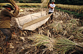 Men thresh rice by beating the stalks against a wooden trough. The grain collects in the in the trough. Thai Nguyen province. Vietnam.