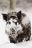 Wild Boar in Winter. Sus scrofa. Schleswig-Holstein, Germany