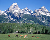 Animals graze underneath the Teton Range. Grand Teton National Park. Wyoming. USA
