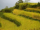 rice with fall color, Yuanyang, China