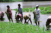 People working in a paddy field of rice crop to cultivate rice crops. Mulshi, Pune, Maharashtra, India.