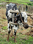 Bull with a plough, ready for ploughing a field by traditional way. Nilkantheshwar, Pune, Maharashtra, India.