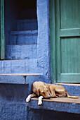 Dog, Jodhpur. Rajasthan, India (October, 2005)