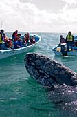 Grey Whales Guerrero Negro Mexico