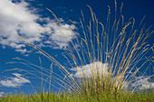 Ornamental grass plant against summer sky.