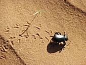 Pinacate Bug Eleodes Tenebrionidae Coleoptera Monument Valley National Park Navajo Nation Arizona United States