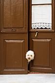 White dog looking behind a brown door in a street of Ciutadella, Menorca. Spain.
