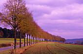 Europe, Germany, Lower Saxony, avenue of trees near Obernjesa