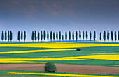 Europe, Germany, Lower Saxony, canola fields and avenues of trees near Duderstadt, Eichsfeld