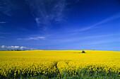Canola field near Neuhof, Rugen island, Mecklenburg-Western Pomerania, Germany