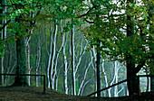 Europe, Germany, Mecklenburg-Western Pomerania, isle of Rügen, ghost forest
