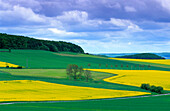 Europe, Germany, North Rhine-Westphalia, canola fields near Diemelstadt