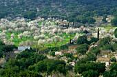 Europe, Spain, Majorca, near Selva. Bloomy almond trees