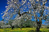 Europe, Spain, Majorca, near Selva, bloomy almond trees