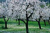 Europe, Spain, Majorca, bloomy almond trees