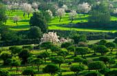 Europe, Spain, Majorca, near Capdella, bloomy almond trees