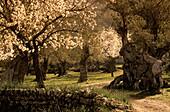 Europe, Spain, Majorca, Valldemossa, blooming almond trees