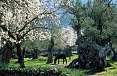 Europe, Spain, Majorca, near Valldemossa grazing donkey amidst blossoming almond trees