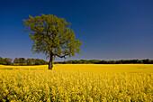 Deciduous tree on yellow rape field, near Flensburg, Schleswig-Holstein, Germany