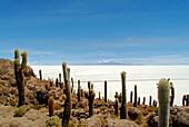 Cactuses, Cacti on Isla de los Pescadores, salt lake Salar de Uyuni, Bolivia, South America