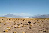 Alpaca at salt lake, Salar de Ascotán, Chile, South America