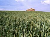 Grain field. El Pobo de Dueñas. Guadalajara province, Spain