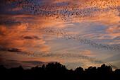 Mexican free-tailed bats (Tadarida brasiliensis). Sunset, Worlds largest urban bat colony. Austin, Texas. USA.
