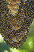 Bees. Pantanal, the world largest wetland, Brazil, South America