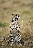 Cheetah (Acinonyx jubatus). Masai Mara. Kenia