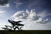 Acacia tree (Acaciae). Serengeti, Tanzania, Africa.