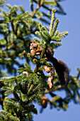 Red Squirrel eating spruce cone, Sciurus vulgaris, Bavaria, Germany