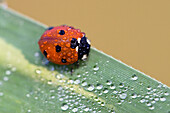 Ladybird with dew, Coccinella septempunctata, Germany