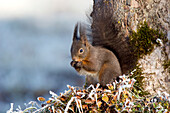 Red Squirrel eating Hazelnut, winter, Bavaria, Germany, Sciurus vulgaris