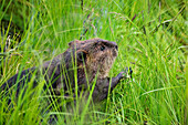 Beaver eating grass, Castor fiber, Alaska, USA