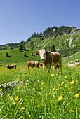Cattle on alpine pasture, Hochgern, Chiemgau range, Chiemgau, Bavaria, Germany