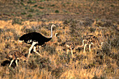 Ostrich (Struthio camelus), adult and chicks. Karoo National Park, South Africa